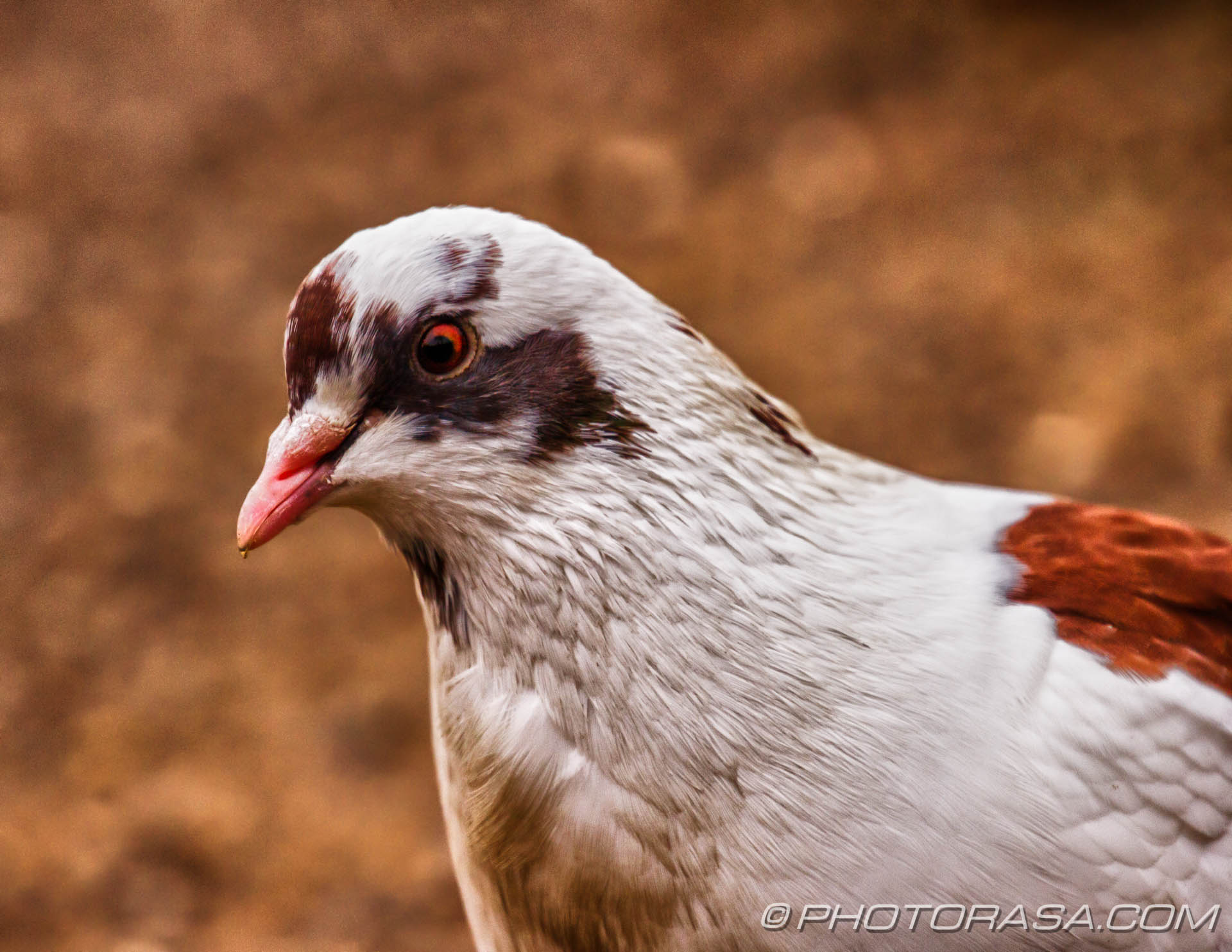 http://photorasa.com/hdr-birds/hdr-white-brown-and-grey-speckled-pigeon/