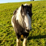 large pony in field