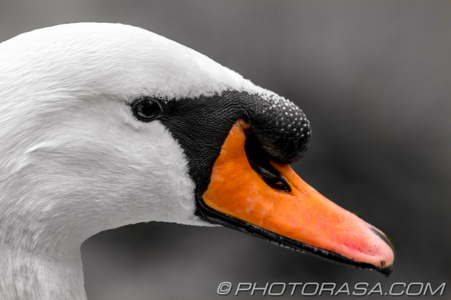 http://photorasa.com/animals/birds/art-swans/attachment/mute-swan-cob-from-the-side-with-lump/
