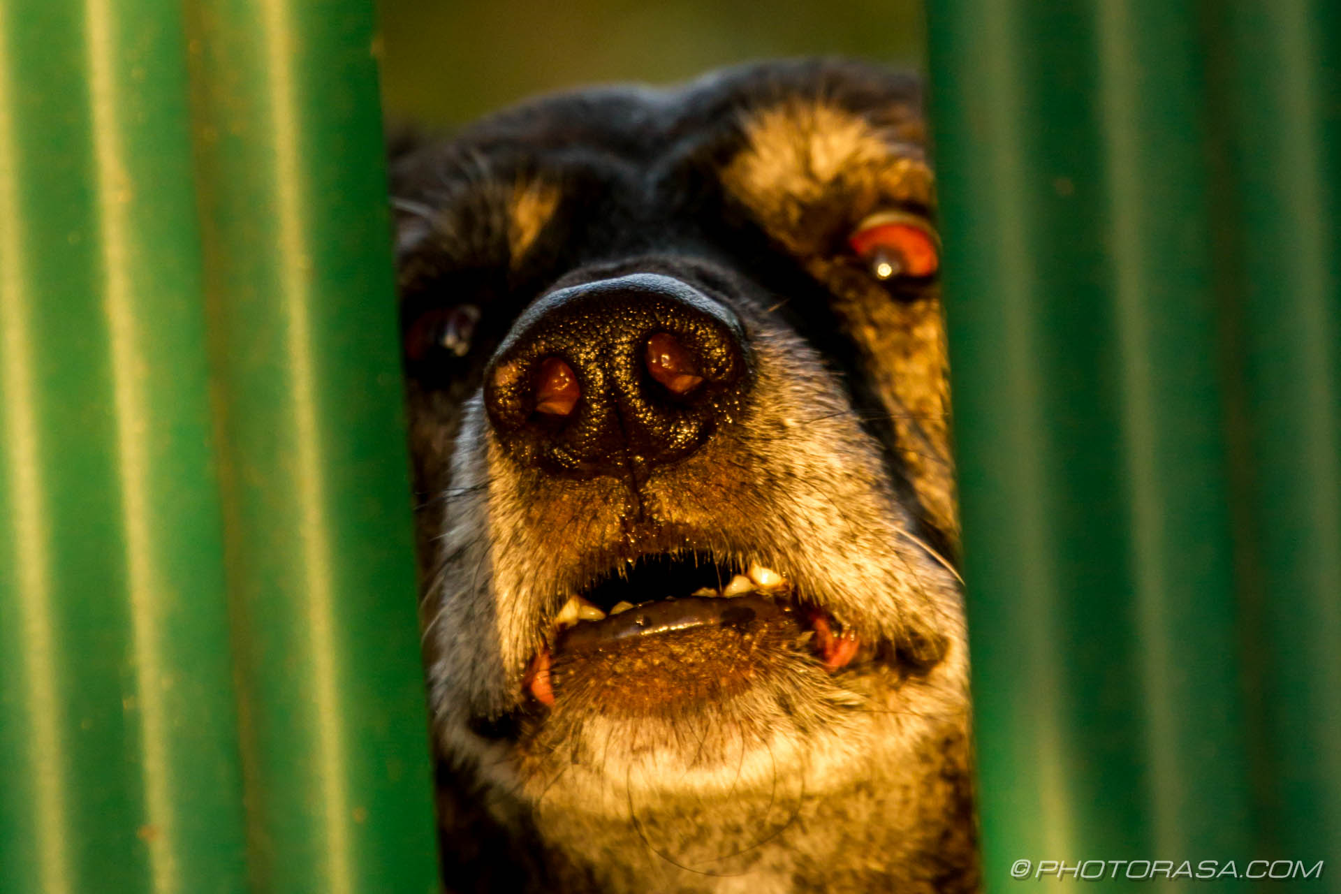 http://photorasa.com/old-guard-dog-fence/old-dogs-wet-nose/