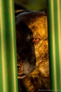 orange eye of dog in the low sun