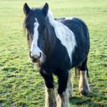 piebald gypsy pony
