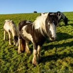 ponies and foal on a hill