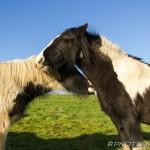 ponies kissing
