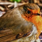 robin redbreast close up