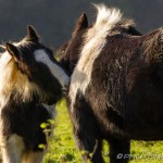 scruffy ponies cleaning each other