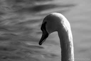 swan and water ripples