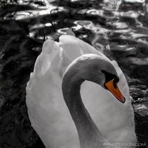 swan gliding forwards