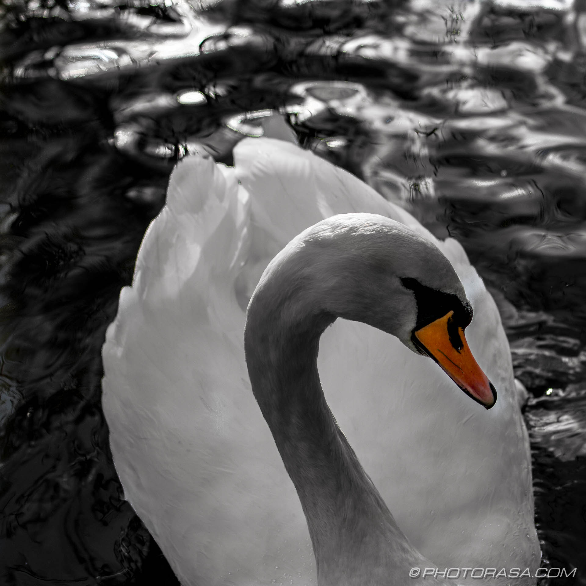 http://photorasa.com/art-swans/swan-gliding-forwards/