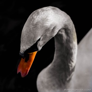 swan head from above