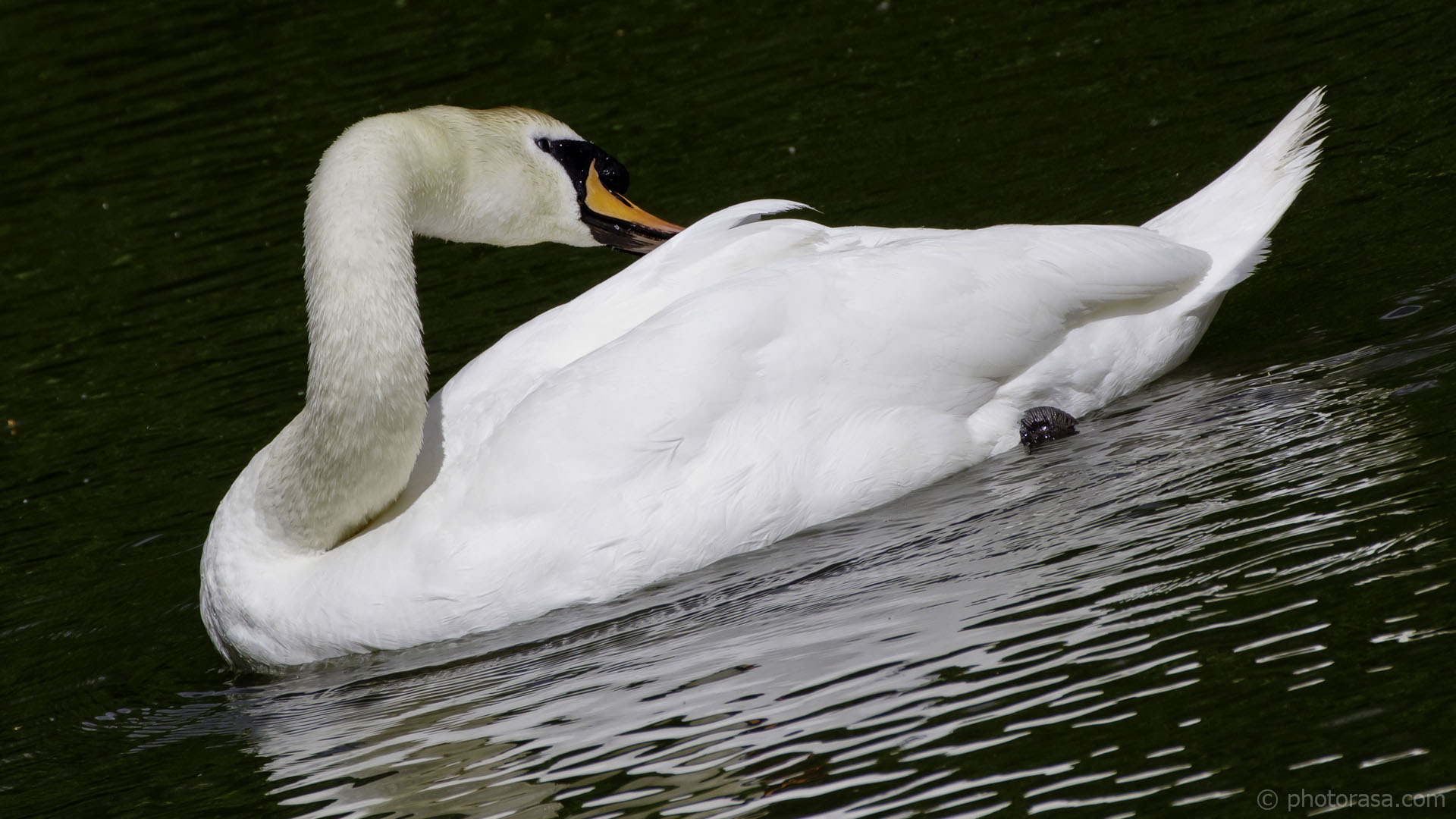 http://photorasa.com/art-swans/swan-neck-three-point-turn/