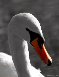 swan orange beak