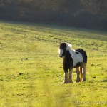 thickset skewbald pony standing in field