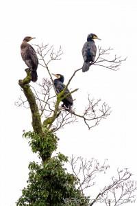 three big birds up a tree
