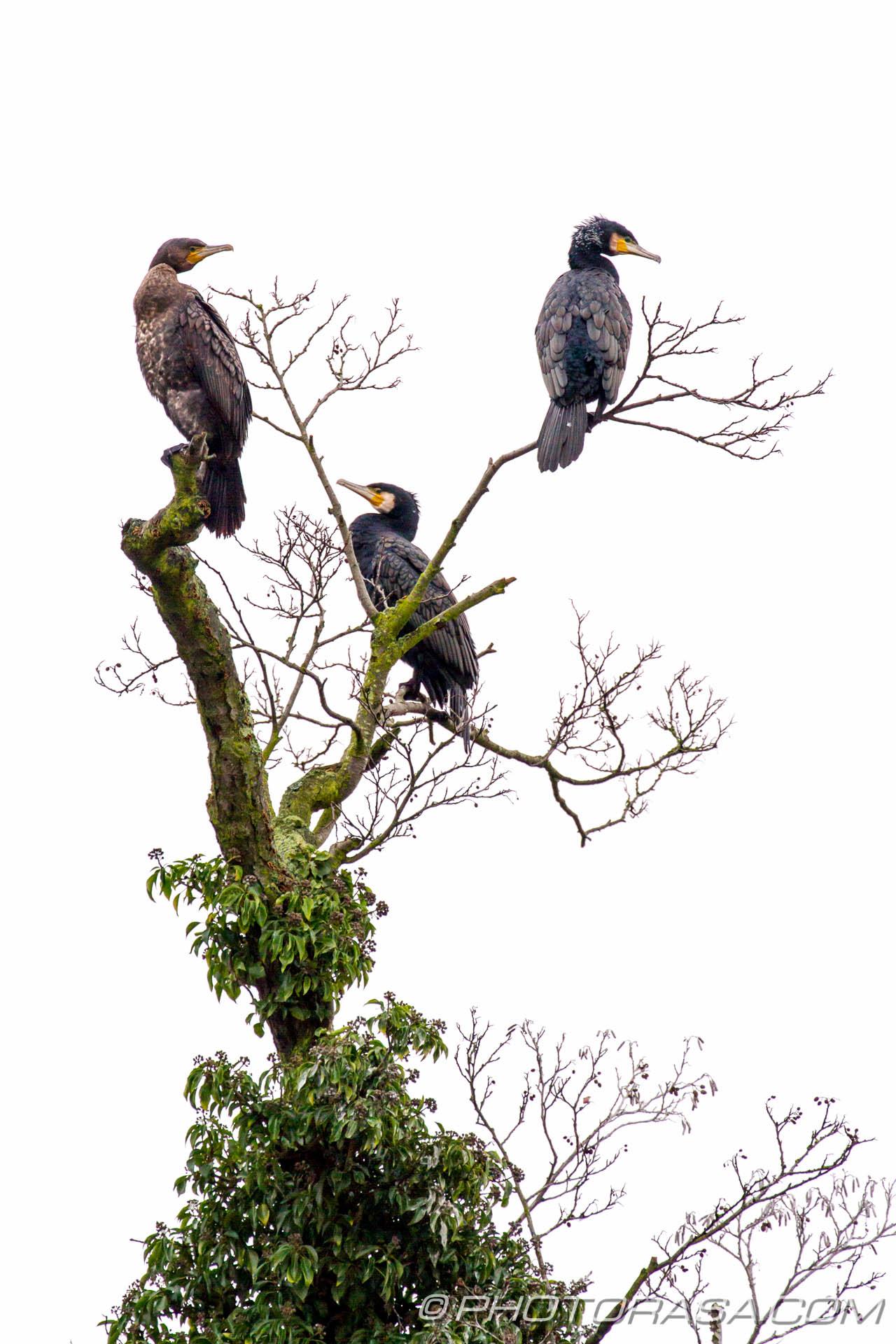Three Black Cormorants - Photorasa Free HD Photos