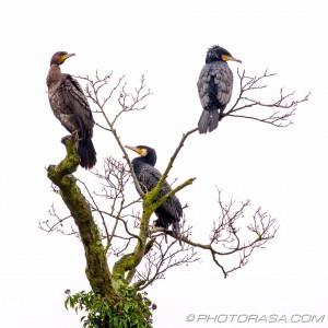 three cormorants on a tree