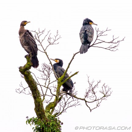 three cormorants on a tree
