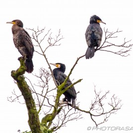 three cormorants sitting in a tree