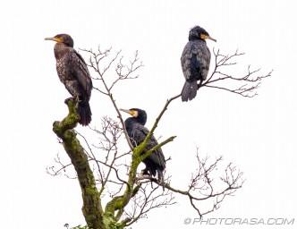 three cormorants sitting in a tree
