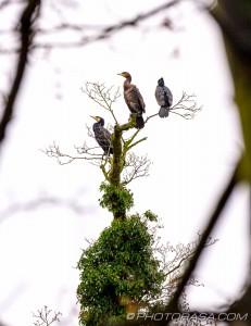 three great black cormorants
