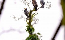 three great black cormorants