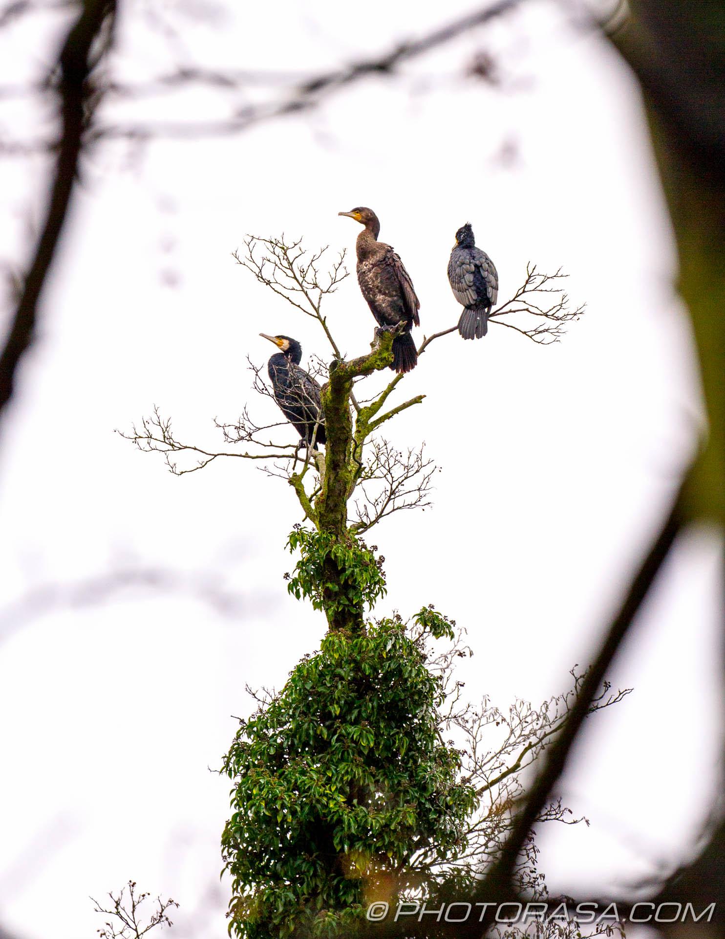 http://photorasa.com/three-cormorants/three-cormorants-2/