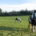 three ponies in a field