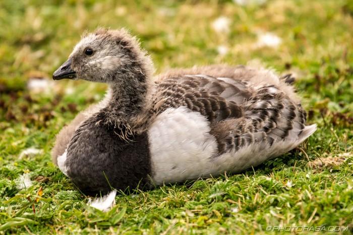 baby barnacle goose