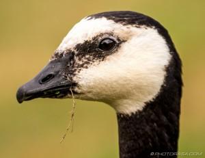 barnacle goose head
