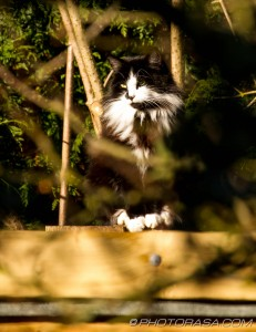 black and white cat with mane through trees