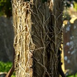 broken post riddled with roots