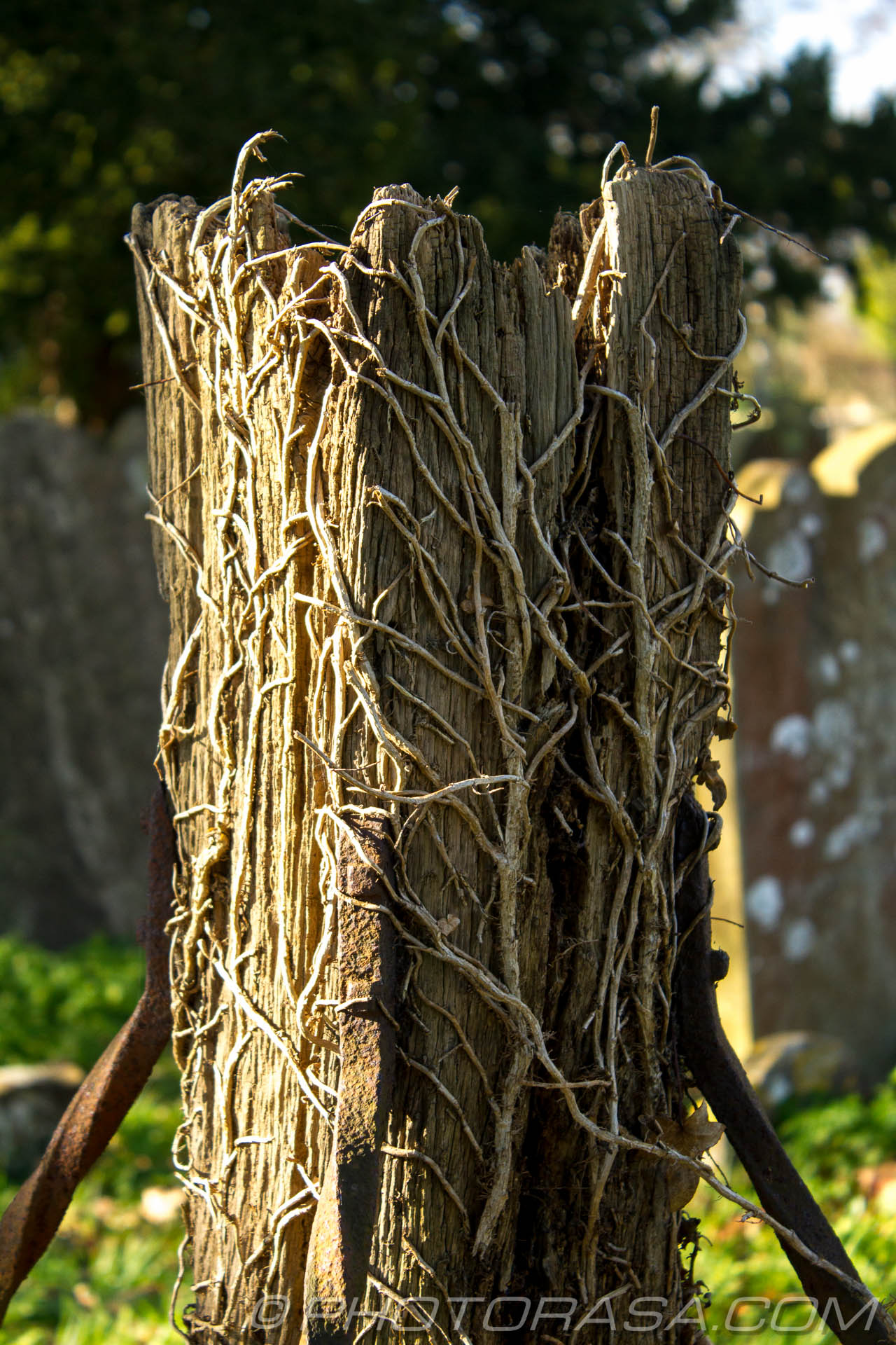 http://photorasa.com/parish-church-st-peter-st-paul-headcorn/broken-post-riddled-with-roots/