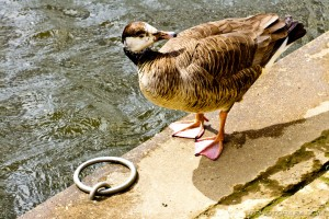 canadian goose by mooring ring