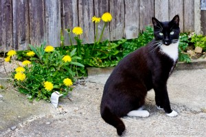 cat and dandelions