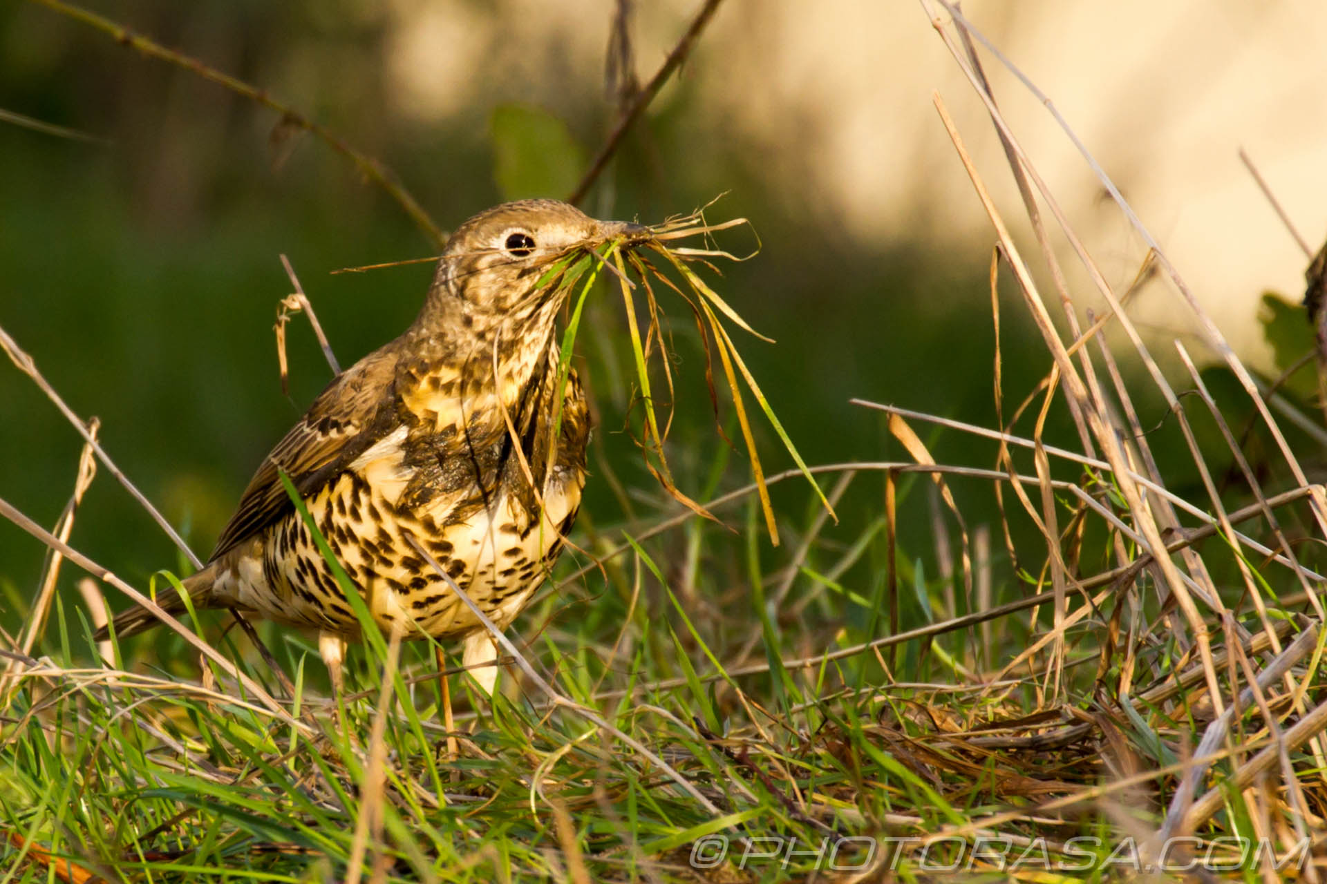 http://photorasa.com/mistle-thrush-scavenging-nest-materials/collecting-materials-for-the-nest/