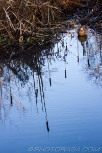 duck by water and bullrushes reflection