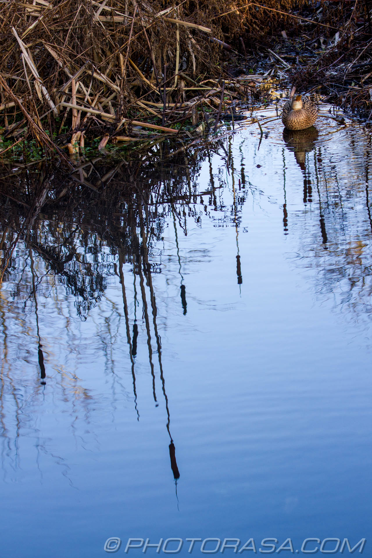 http://photorasa.com/ducks-bullrushes/duck-by-water-and-bullrushes-reflection/
