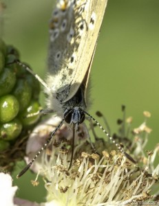 female common blue proboscis