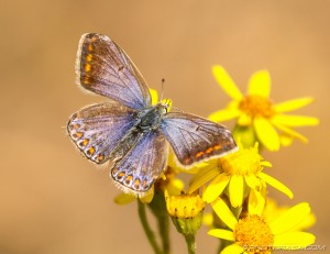 female common blue with orange spots