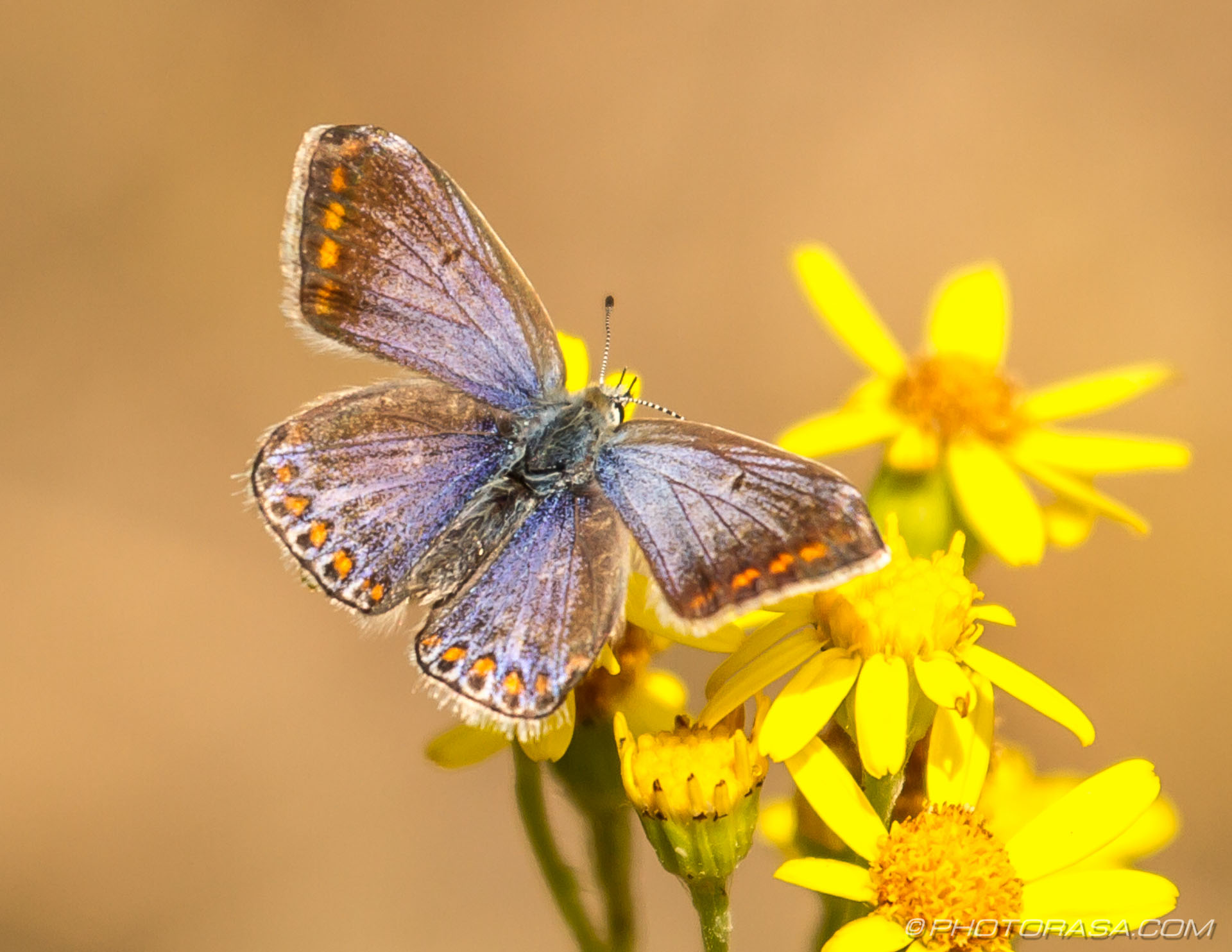 https://photorasa.com/common-blue-butterfly/female-common-blue-with-orange-spots/