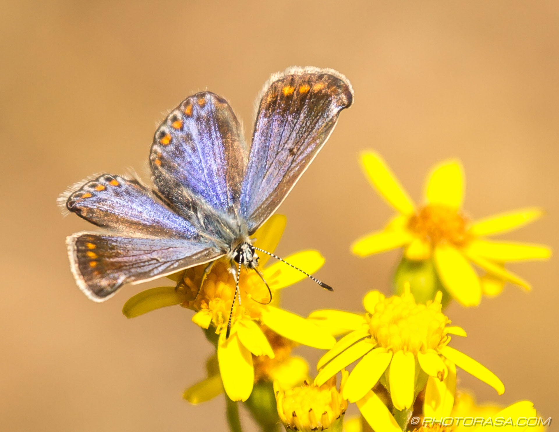 https://photorasa.com/common-blue-butterfly/female-common-blue/