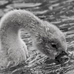 grey furry cygnet fishing