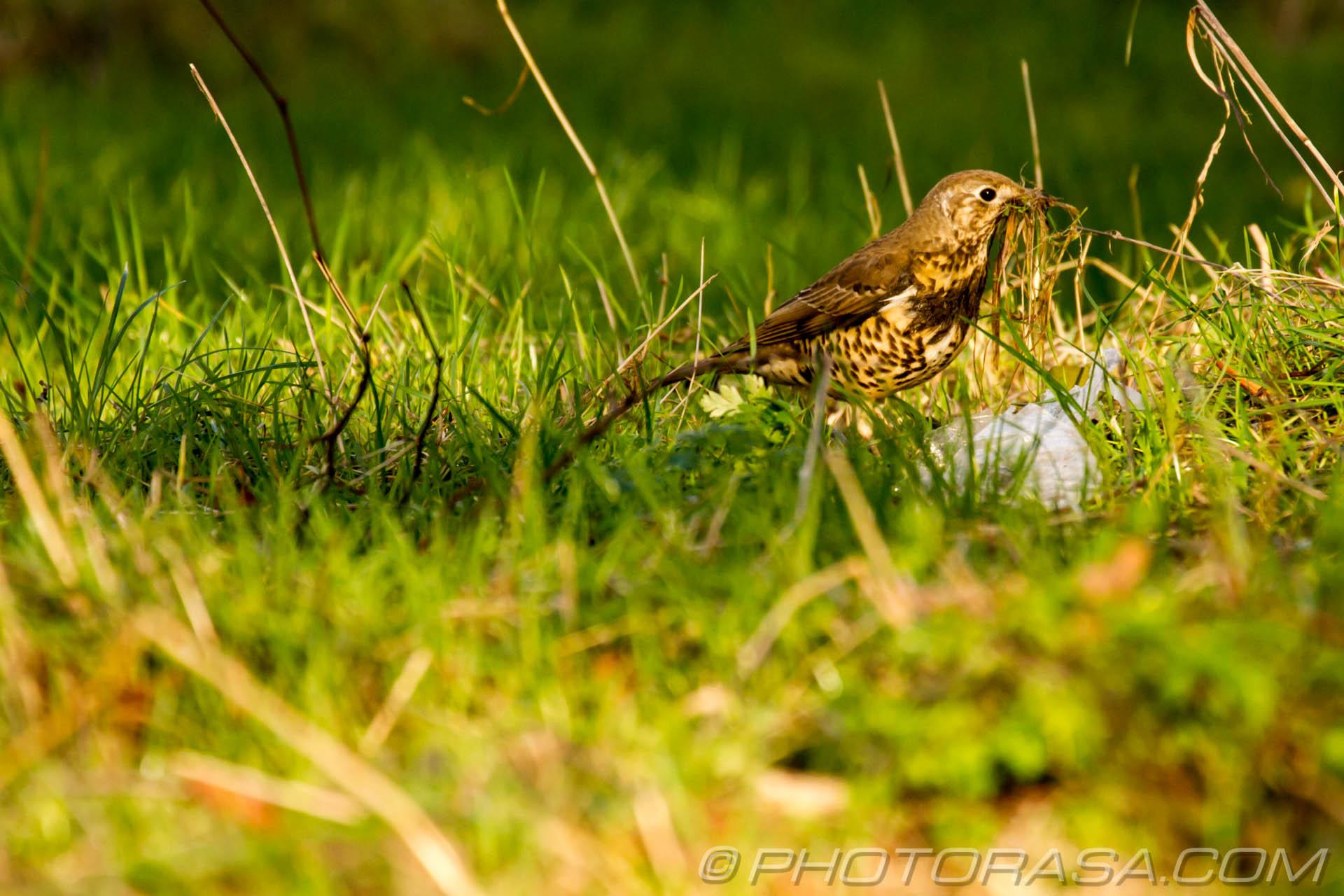 http://photorasa.com/mistle-thrush-scavenging-nest-materials/in-long-grass-looking-around/