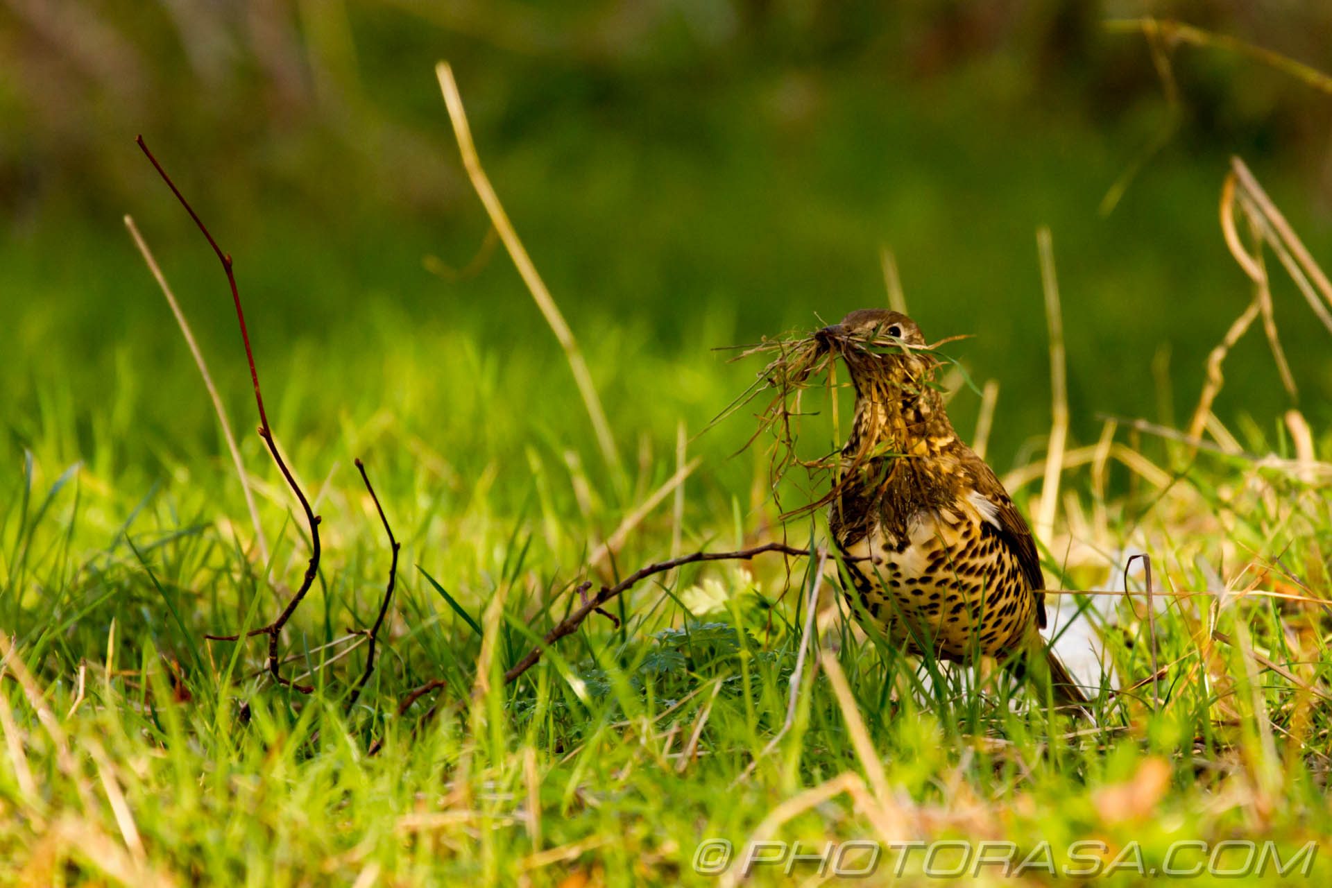 http://photorasa.com/mistle-thrush-scavenging-nest-materials/keeping-an-eye-out-for-more-stuff-to-collect/