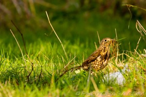 low profile mistle thrush in long grass