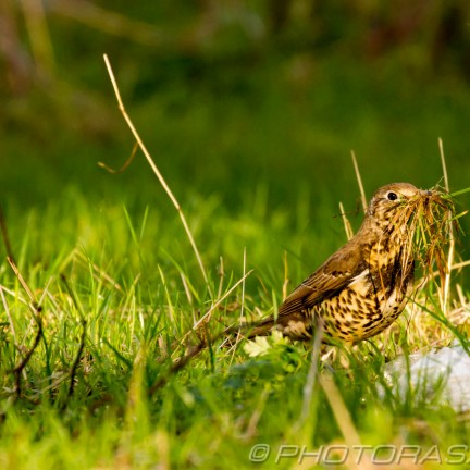 low profile mistle thrush in long grass