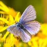 male common blue on yellow flower