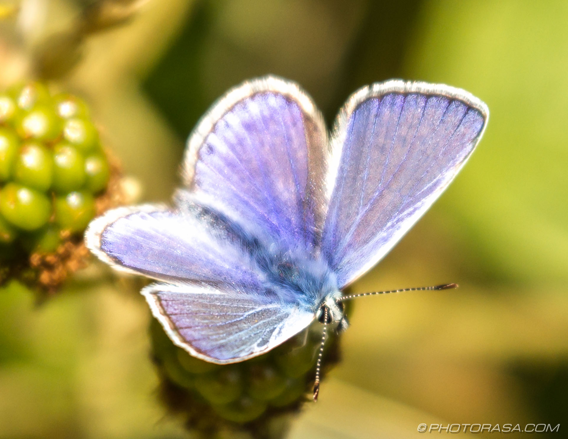 https://photorasa.com/common-blue-butterfly/male-common-blue-2/
