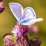 male common blue and on purple flower