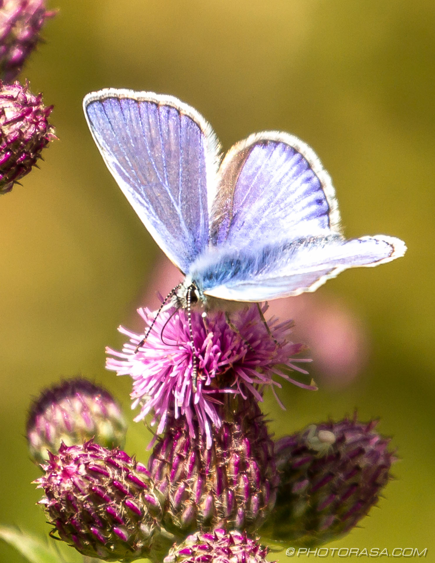 https://photorasa.com/common-blue-butterfly/male-common-blue-and-on-purple-flower/